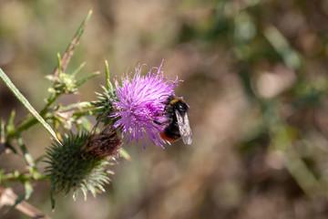 Abeille solitaire - Le bourdon des pierres sur une fleur de chardon