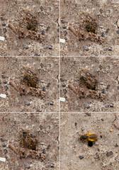 Abeille terrassière creusant un trou