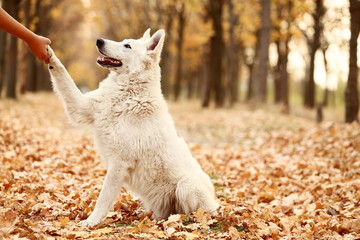 White swiss shepherd dog giving paw in autumn park