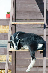 the goat climbed the ladder on the farm. photo