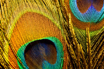 Macro photo of colorful peacock feathers.
