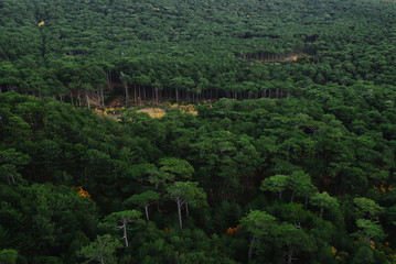 Pine forest, view from above