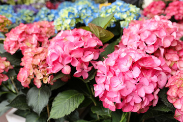 Pink hydrangea or Hydrangea macrophylla floral background.