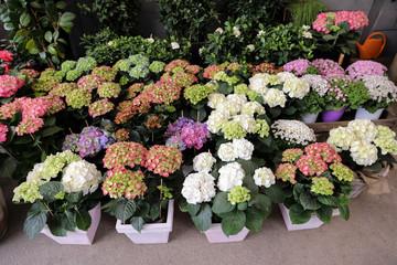 Variety of pink, white, lilac hydrangeas or Hydrangea macrophylla in the garden shop.