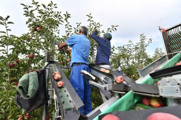 Apple harvesting - workers on a modern machine harvest apples on the plantation // Apfelernte - Arbeiter auf einer modernen Maschine ernten Äpfel auf der Plantage