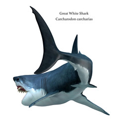 Great White Shark Tail with Font - The Great White Shark can live for 70 years and is one of the largest predators of the oceans.