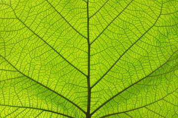 Extreme close up texture of green leaf veins Wall mural