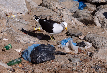 A seagull searches for food between plastic waste on the coastal edge of a beach in Valparaiso