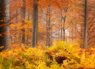 Beautiful autumn colors on a misty day in a Dutch forest near Breda.