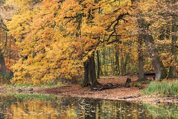 Eiche im Herbstlaub an einem Teich im Forst Manhagen in Großhansdorf, Schleswig-Holstein