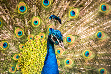 Colorful head of peacock with bright feathers in the background