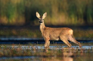 Fototapete - Roe deer (Capreolus capreolus)