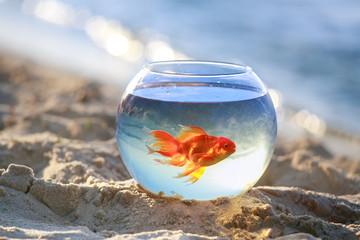 goldfish in bowl fish float in an aquarium Beautiful orange goldfish fish are released