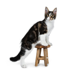 Wall Mural - Cute black tabby with white Maine Coon cat kitten stepping up a little wooden stool side ways, looking at camera. Isolated on white background.