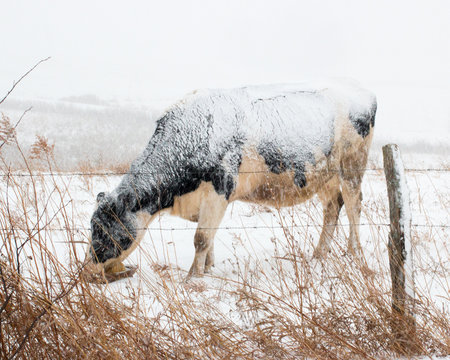holstein cow grazing behind a fence in the snow