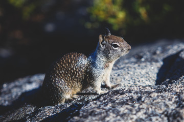 Close-up portrait view of grey squirrel in Yosemite national Park, California, United States