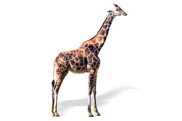 Giraffe on white background, isolated.