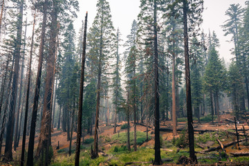 Landscape in a pine trees forest; smoke from Ferguson Fire present in the air; Mariposa Grove; Yosemite National Park, California
