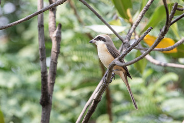 Brown shrike (luceonensis) The brown shrike is a bird in the shrike family that is found mainly in Asia. It is closely related to the red-backed shrike and isabelline shrike. The genus name, Lanius.