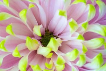 蛍光の色をした菊の中心