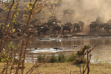 Buffaloes and hippo