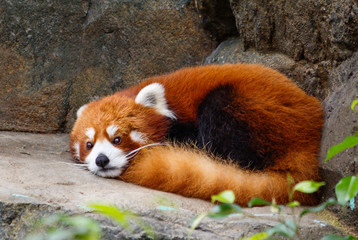 Small Panda (red Panda). Small Panda or red Panda is a little bigger than a cat. On the muzzle pattern in the form of a mask. Leads a nocturnal life, sleeps during the day.