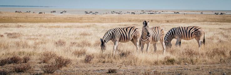 Canvas Prints Zebra Zebras im Grasland, Etosha National Park, Namibia