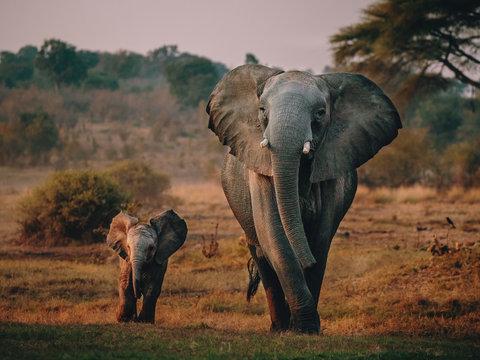 Elefantenkuh mit Jungem auf dem Weg zum Wasserloch, Senyati Safari Camp, Botswana