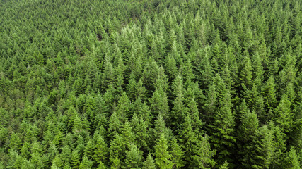 Drone top view of green pine trees in forest in Portugal.