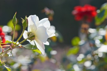 White rose with background