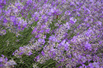 Close up of Purple lavender. Field of lavandula in Bulgaria