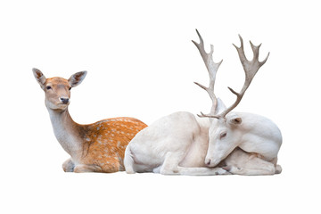 Foto op Plexiglas Hert Two deer lay isolated on white background