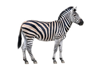 Zelfklevend Fotobehang Zebra Zebra isolated on white background