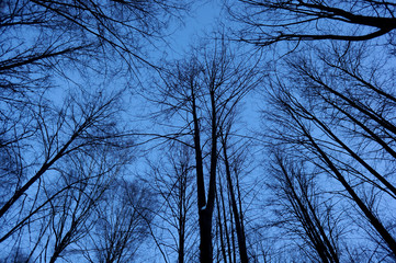 Bare trees view up against a blue sky