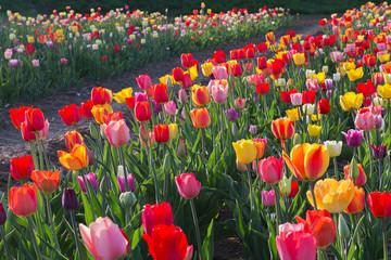 Fototapete - bunte Tulpen auf dem Feld im Gegenlicht