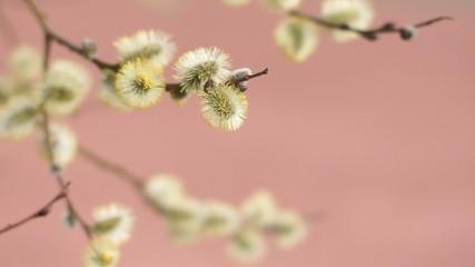Blühende Weidekätzchen im Frühling