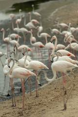 Flamingoes in Ras Al Khor Wildlife Sanctuary, Ramsar Site, Flamingo hide2, Dubai, United Arab Emirates