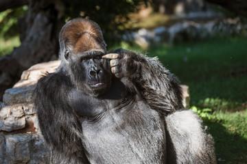 The gorilla making a smart gesture