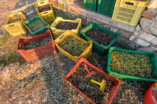 Baskets with Full harvest of olives from Italian Organic Farm