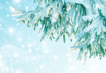 Winter background of frost fir branch and snowfall. New year background.