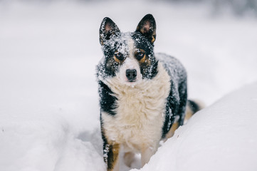 Unusual dog winter portrait. Strange funny puppy standing on snowy road in forest and looking around. Active playful pet stocked in snowdrift in wood. Hungry wild animal with muzzle covered in snow.