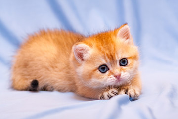 Cute orange kitten lying on a blue background pulling out her claws and looks at the camera with a charming look
