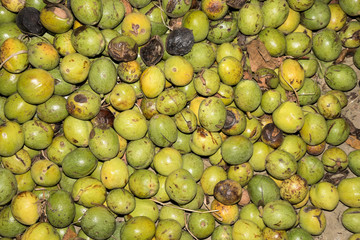 Walnuts in green husks