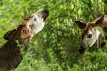 Okapi (Okapia johnstoni), forest giraffe or zebra giraffe, artiodactyl mammal native to jungle or tropical forest, Congo, Central Africa, beautiful animal with white stripes in green leaves, portrait