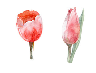 Watercolor hand-paint. Bud tulip pink. Illustration isolated on white.