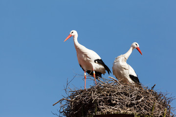 Two white storks in there nest made of branches