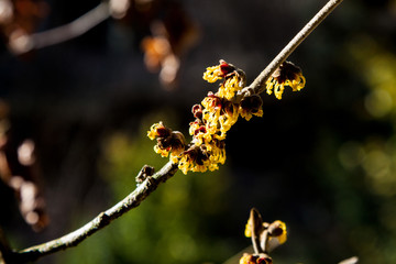 branch of the vilino, Hamamelis