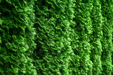 Western thuja emerald green hedge background texture, evergreen trees planted abreast make dense  natural wall. Landscape design concept Wall mural