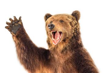 portrait of a snarling bear