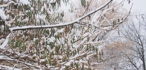 Snow lies on the branches of a tree. After a heavy snowfall.